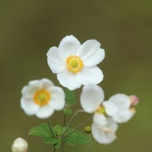pure white japanese anemone