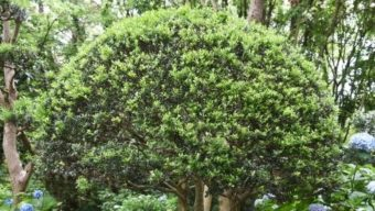 japanese holly sheared to be round