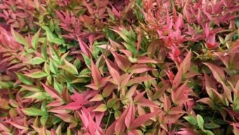 red and green nandina foliage