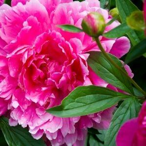 deep pink peony flower