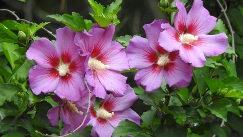 pink and red rose of sharon