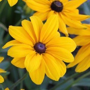 yellow rudbeckia black eyed susan