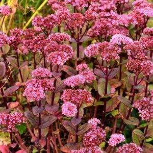 pink flower clusters of sedum stonecrop