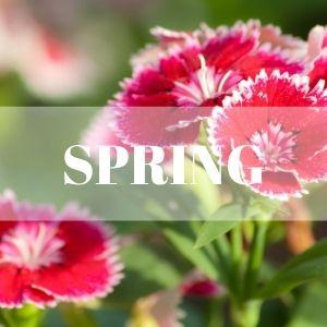 dianthus spring perennial