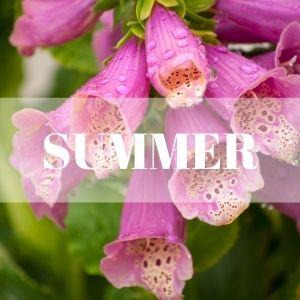 pink foxgloves summer perennial