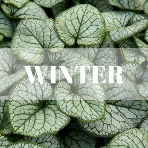 brunnera winter interest perennial