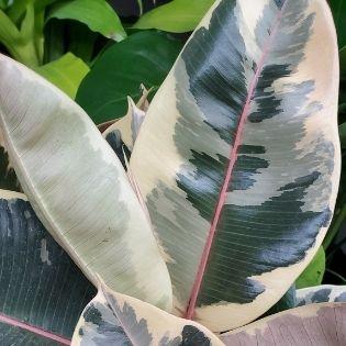 cream variegated ficus tineke