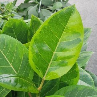 green variegation on the ficus golden gem