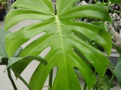 green split leaf monstera deliciosa