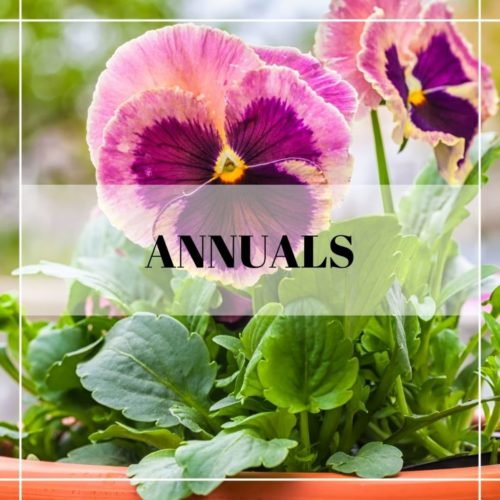 pink and purple pansies in a container