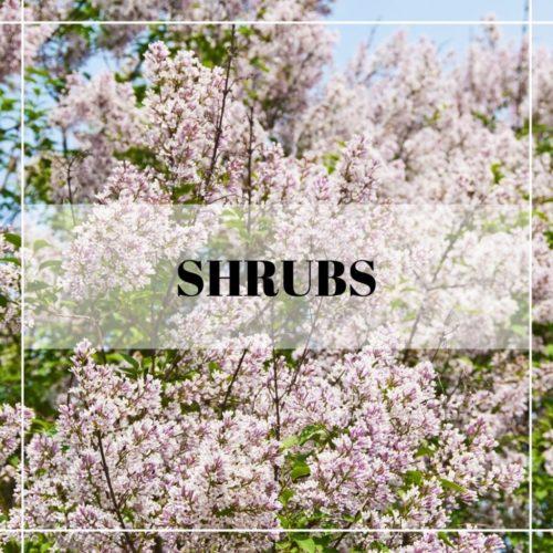 spring blooming lilac shrubs