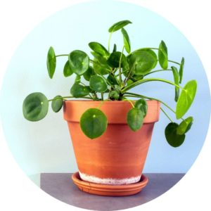 chinese money plant in a pot in front of a blue background on a table