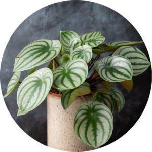peperomia plant in front of dark grey wall