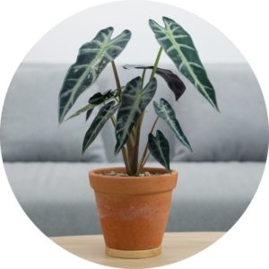 Alocasia plant in a pot on a table in front of a couch.