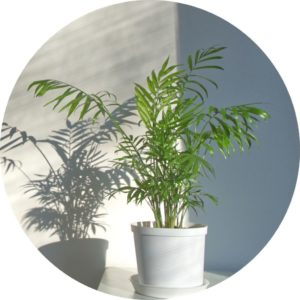 bamboo palm plant in white pot in front of a white corner with shadow of plant on wall
