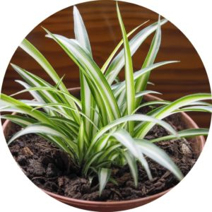 spider plant in soil and pot