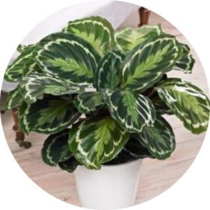 prayer plant (calathea)