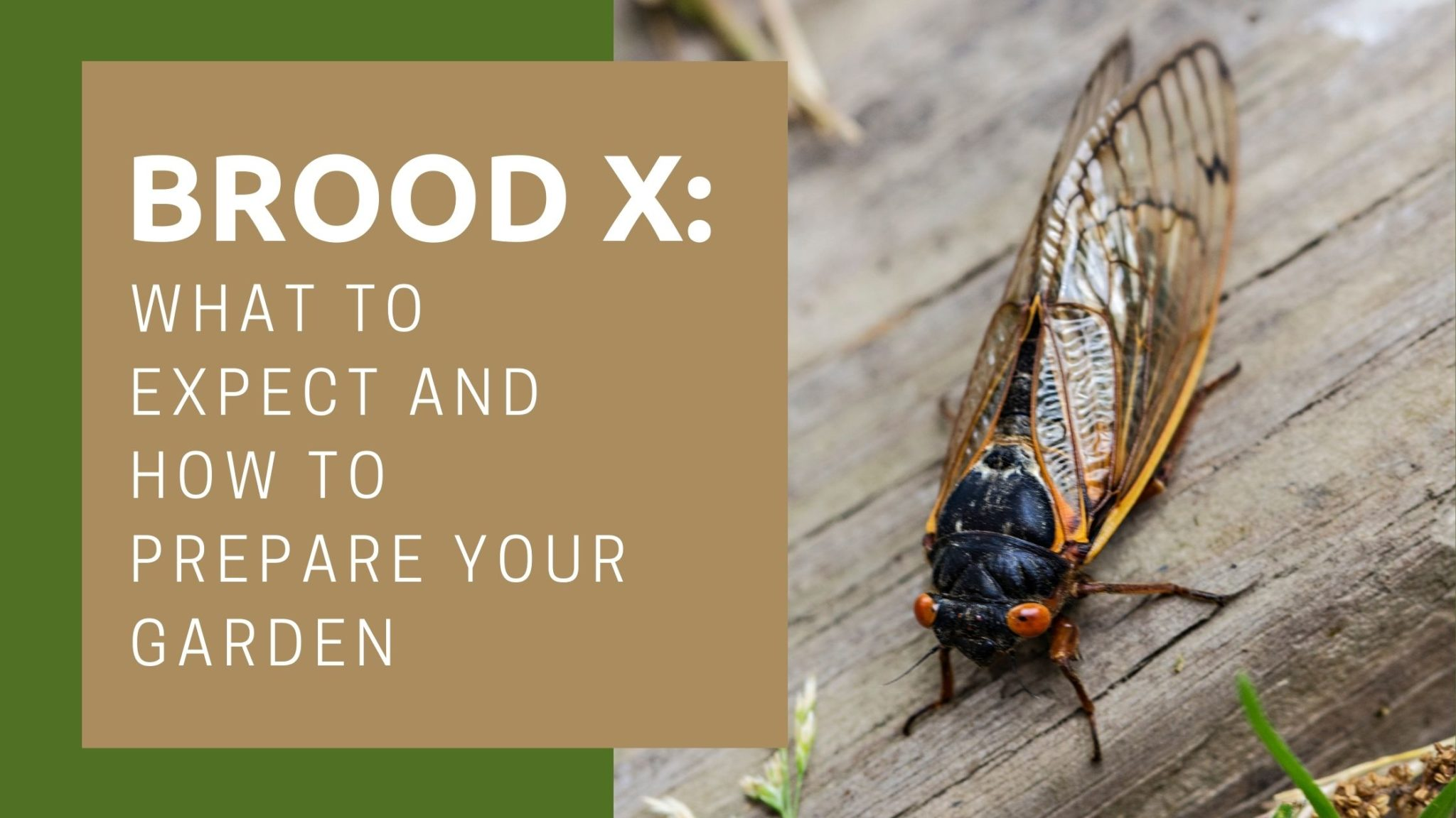 Brood X: What to Expect and How to Prepare Your Garden