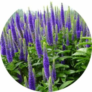royal candles upright purple flower stalks