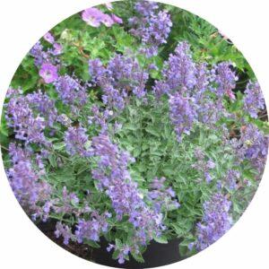 junior walker nepeta plant with light purple flower blossoms
