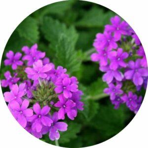 verbena purple flowers with green foliage