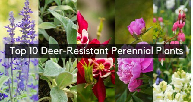 Our Favorite Deer-Resistant Perennial Plants