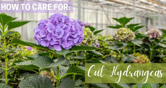 How To: Preserve Your Cut Hydrangea Flowers