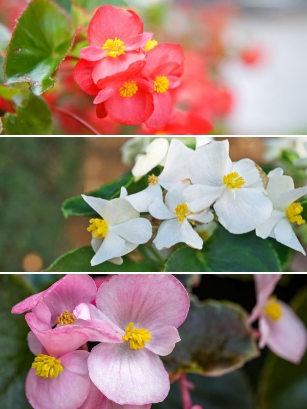 pink white and red begonias