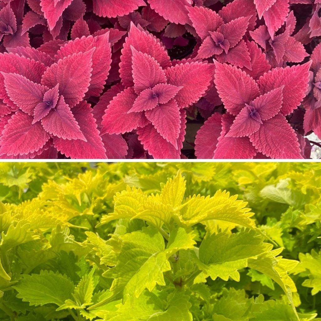 coleus wasabi and red head