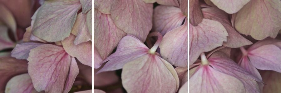 wilting pink hydrangea flower petals up close