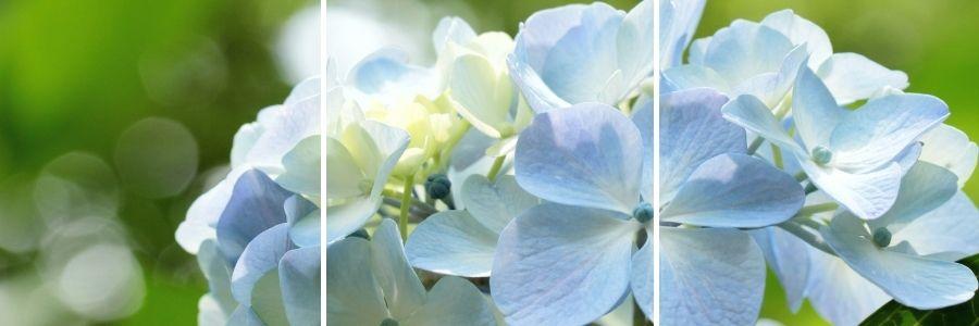 blue hydrangea in the sunlight