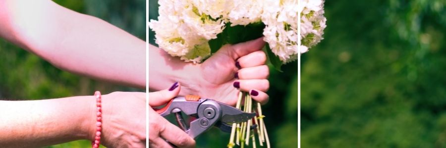 womans hands cutting bundle of white hydrangea with blurred background