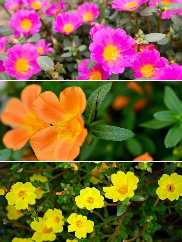vivid colors of portulaca blooms