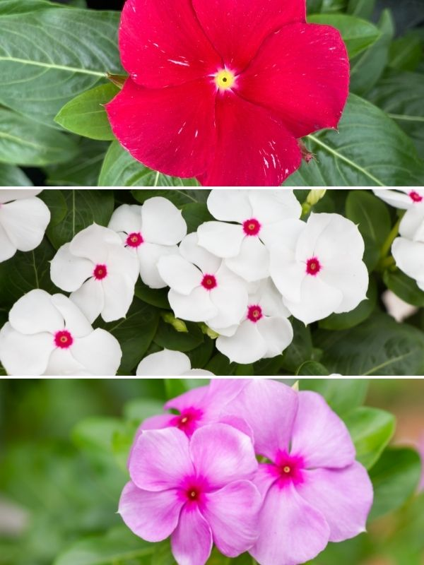 pink white and red annual vinca