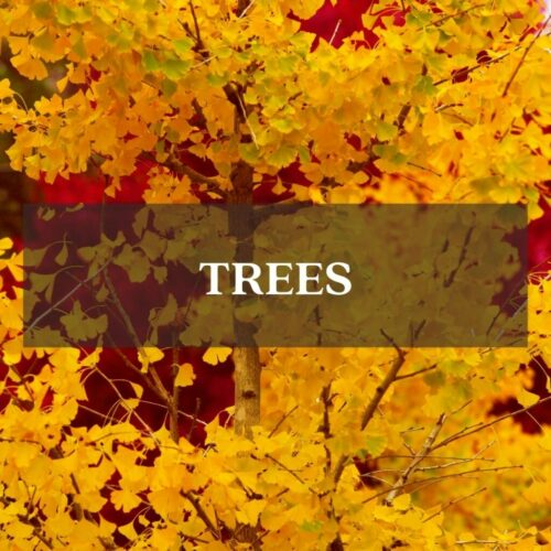 fall color gingko tree yellow foliage category page link