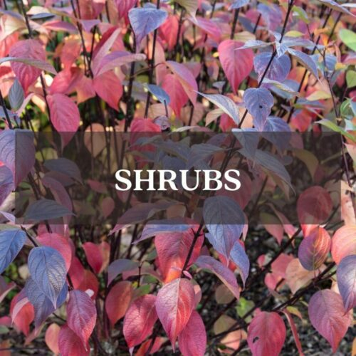 Fothergilla red foliage category page link