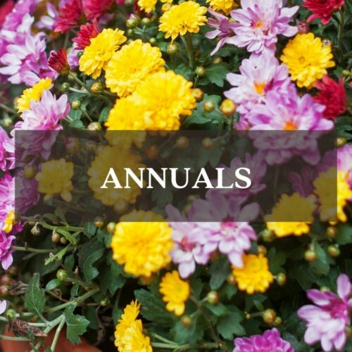 Mums fall colors mixed fall annuals category link