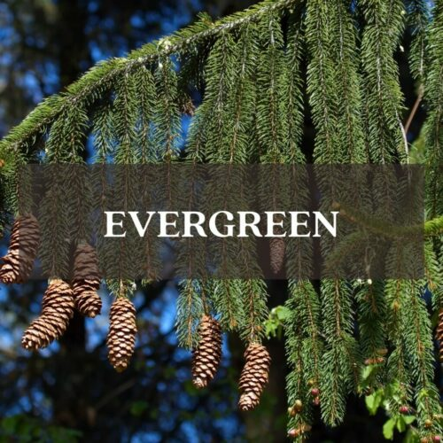 norway Spruce trees with cones