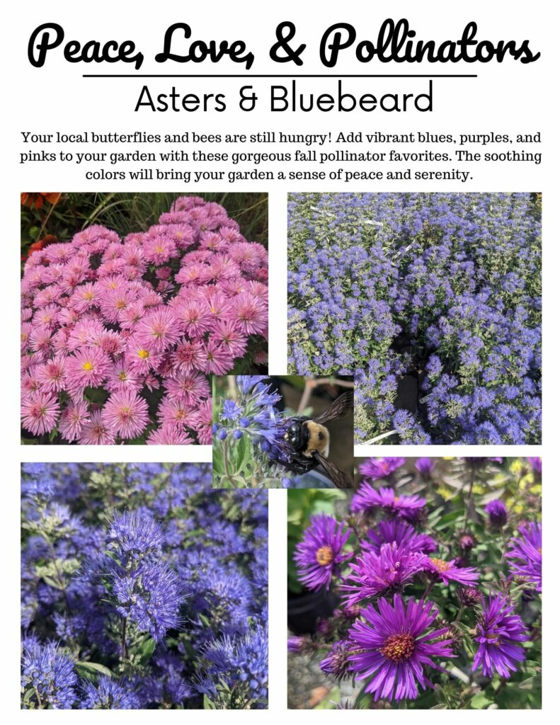 Asters and Bluebeard Caryopteris Shrubs Feature