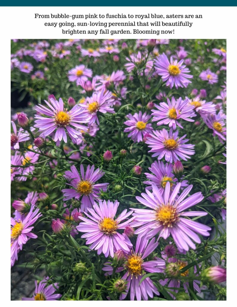 Aster Feature field of pink asters in fall in maryland