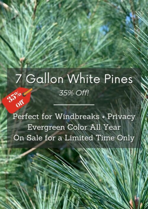 White Pines are On Sale Fall 7 Gal