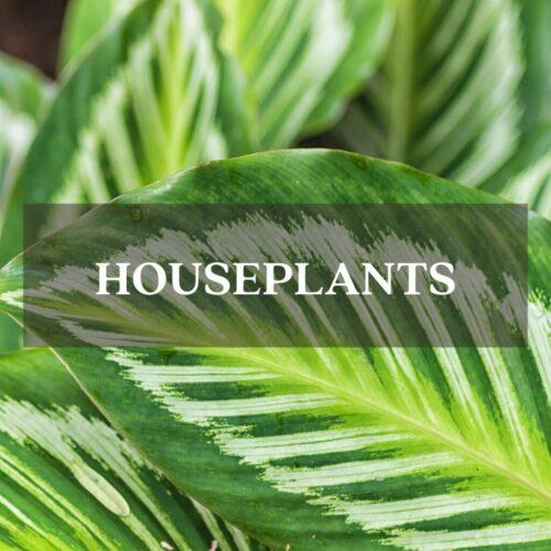 calathea leaves Fall Houseplants Category Page