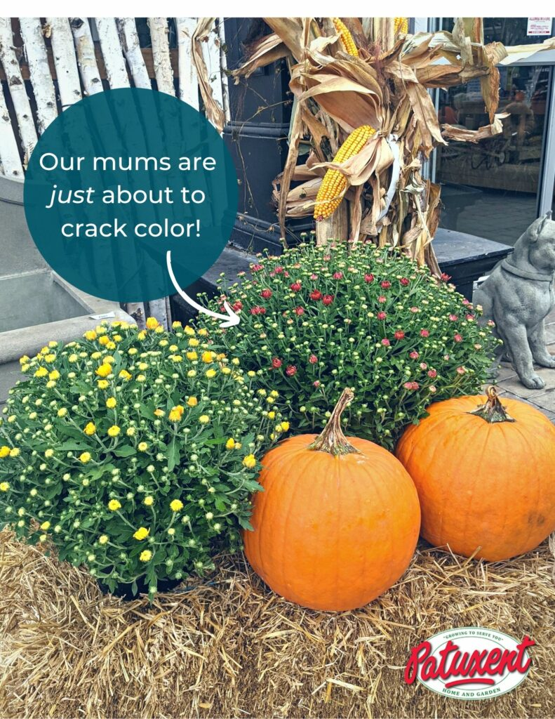 Fall Decor Package Mums are not cracked with color yet