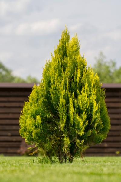 Arborvitae Forever Goldy