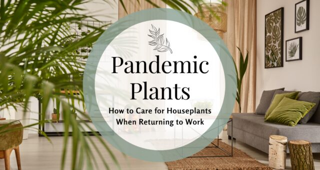 Pandemic Plants—How to Care For Houseplants When Returning to Work
