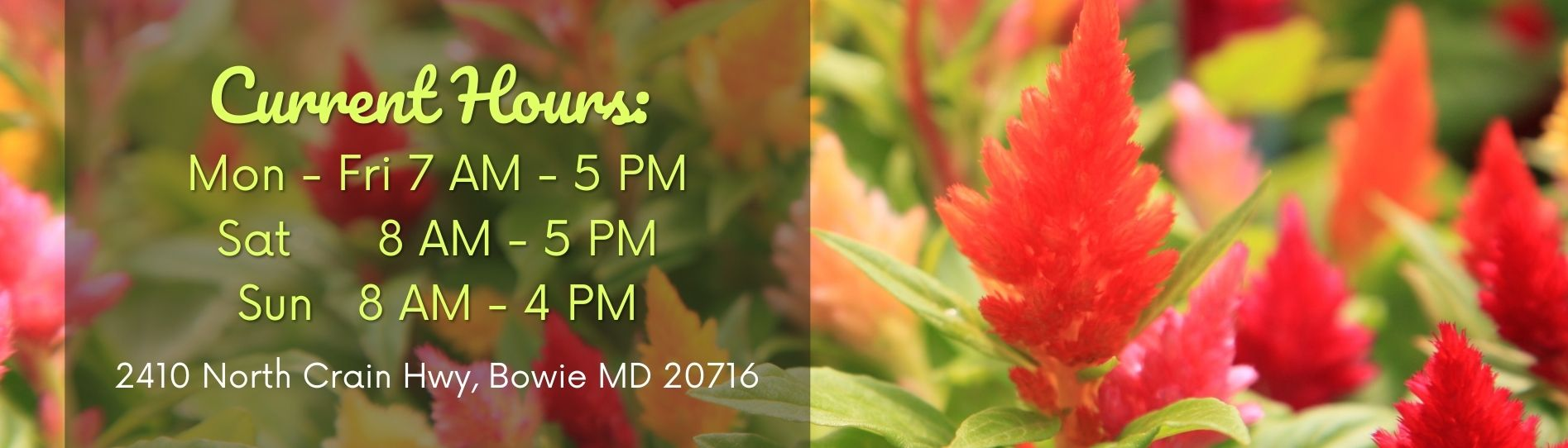 Celosia Flowers New Store Hours Banner