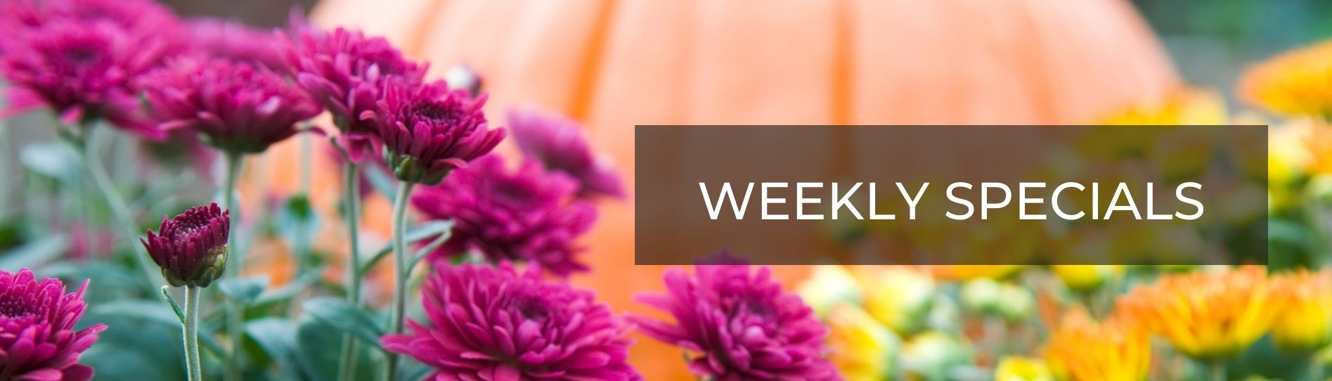 Mums and Pumpkins Weekly Specials Banner