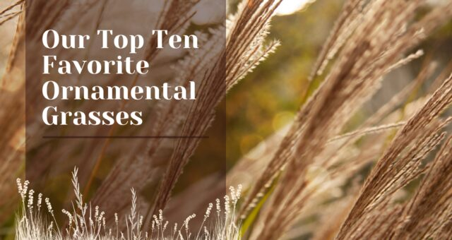 Our Top Ten Favorite Ornamental Grasses