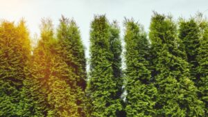 tall evergreens reaching to the sky in staggered row