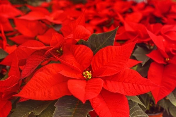 group of bright red christmas flower poinsettias